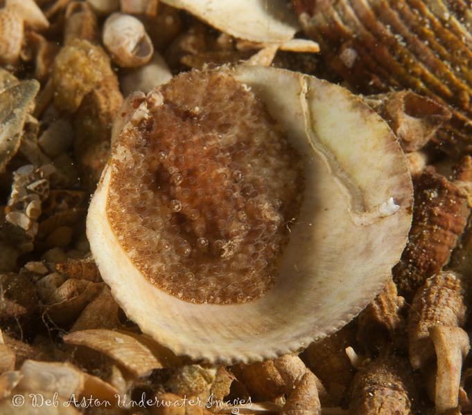 Hoplodoris nodulosa