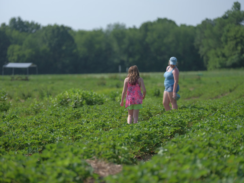 June 17, 2018 - Strawberry Picking for Fathers Day-203.jpg