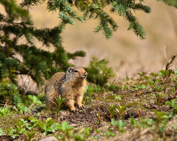 Ground Squirrel - Canadian Rockies