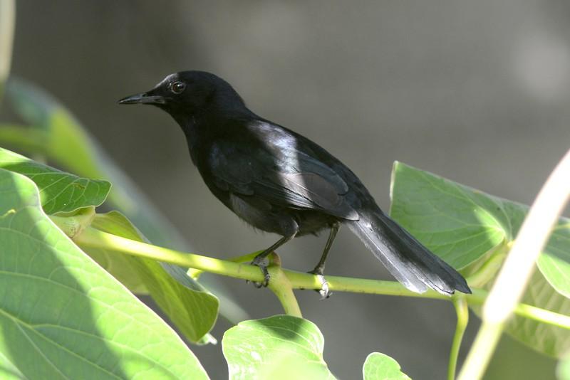 Black Cat Bird