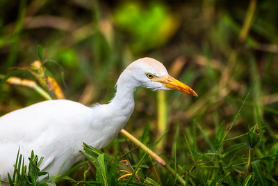 Kuhegre (Cattle egret)