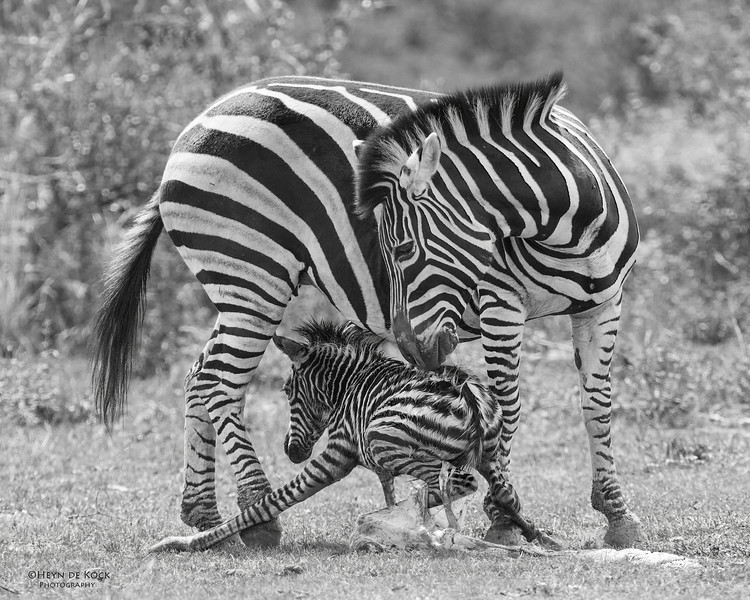 Plains Zebra & foal, Pilansberg National Park, SA, Dec 2013-4 b&w.jpg