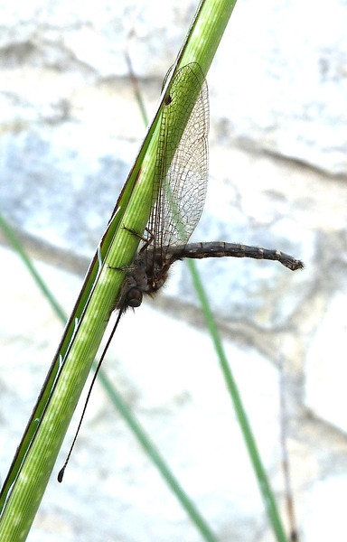 P104OwlflyUlulodesMacleayanusAdj116 July 21, 2011  9:25 a.m.  P1040116 Adj Ululodes macleayanus Owlfly at LBJ WC.