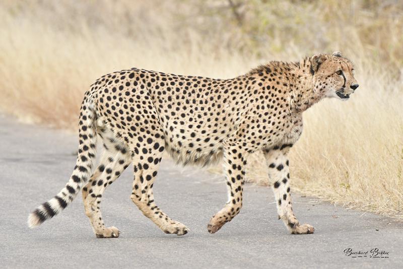 cheetah 5.png