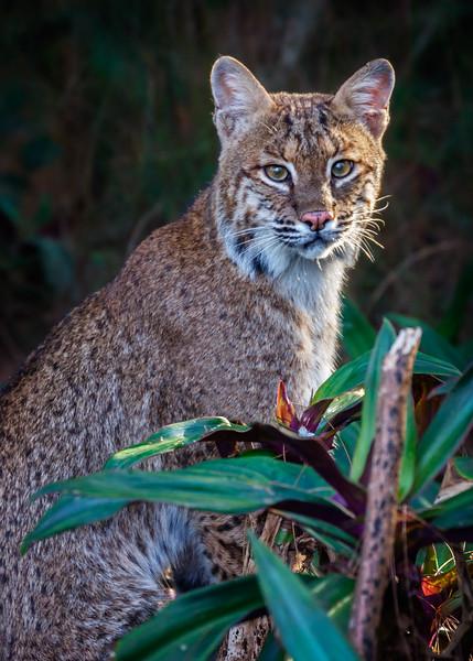 Florida Bobcat-1467.jpg
