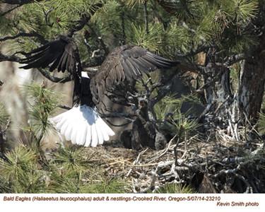Bald Eagles Family 23210.jpg