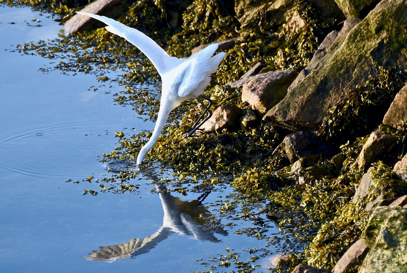 great egret 6.jpg