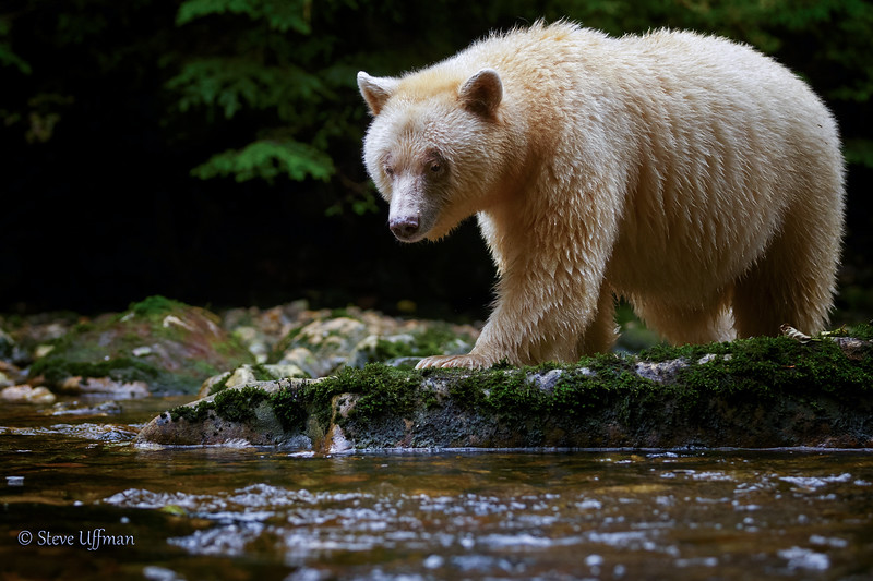 20150930-_Q2C5311Spirit-Bears-British-Columbia.jpg
