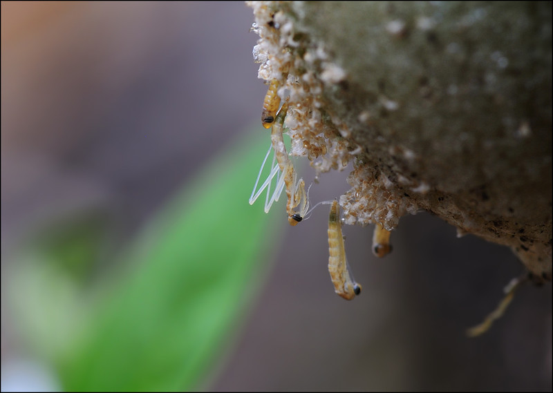 Life emerges.... ( Praying Mantis' young ones emerging out of the egg case....)......