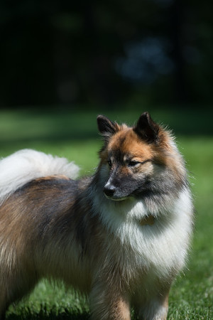 Icelandic Sheepdogs 9-2-17