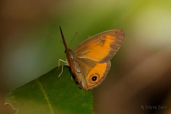 Nymphs - Nymphalidae