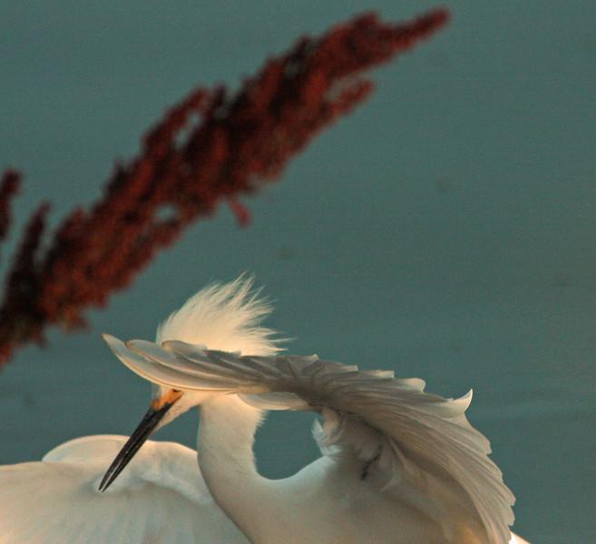 WB~Snowy Egret wing1280.jpg