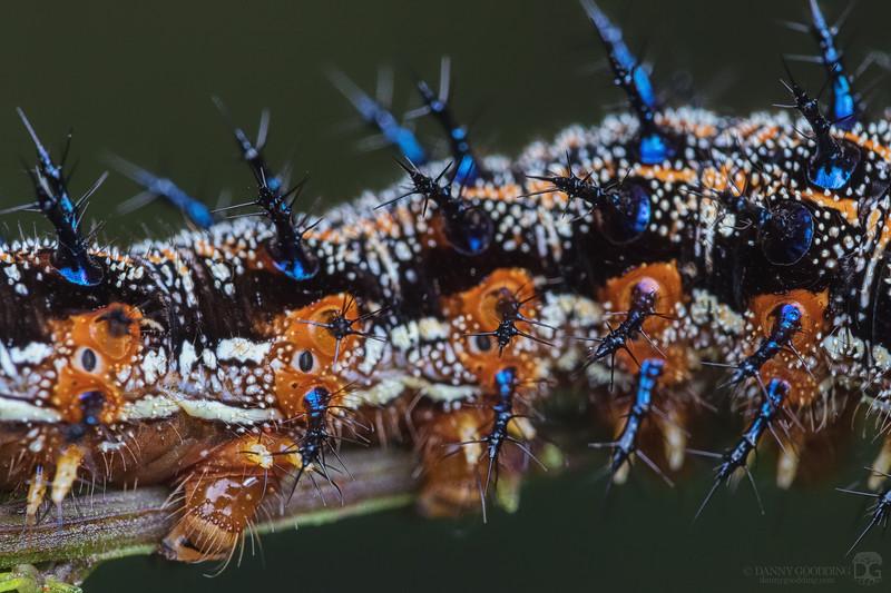 Common buckeye butterfly caterpillar