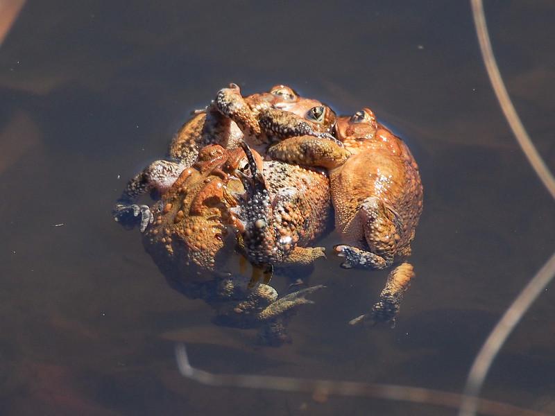 American Toads in amplexus