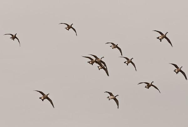 Montezuma NWR Fall Migration