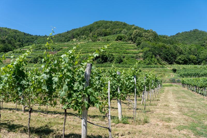 Vineyard in the Wachau Valley