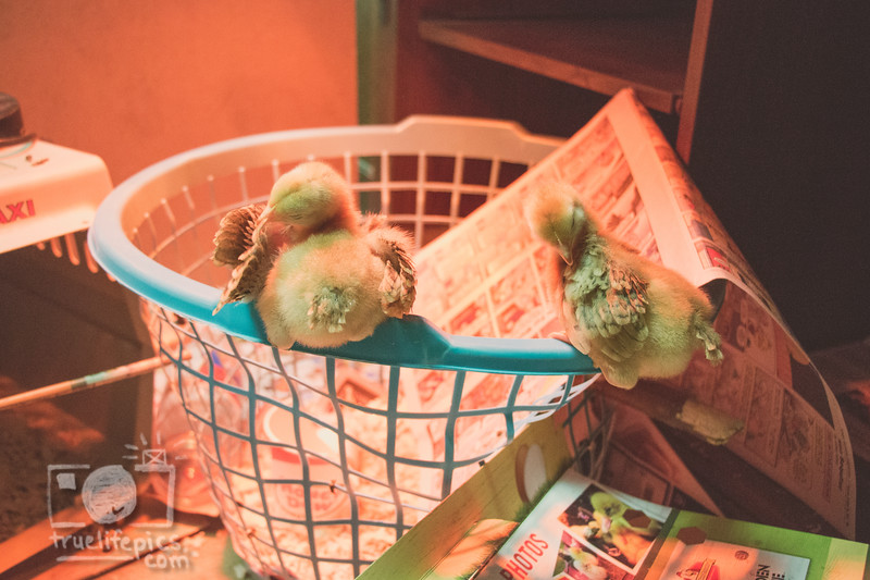March 27, 2017 Chickens in the shop (1).jpg
