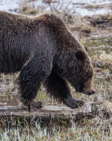 Grizzly bear boar male Yellowstone National Park WY IMG_0464.jpg