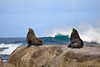 Two seals sitting on edge of rock with wave crashing in the background. Photography fine art photo prints print photos photograph photographs image images artwork.