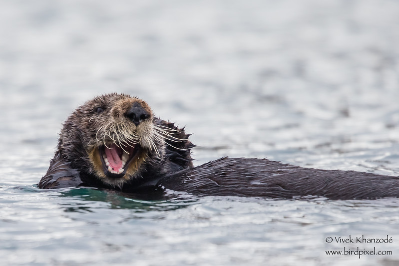 California Sea Otter - Morro Bay, CA, USA
