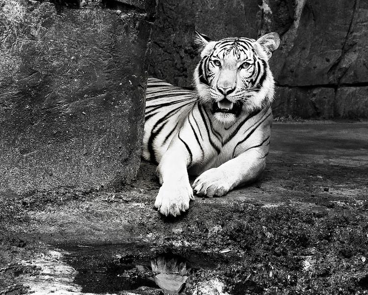Tiger_DSC7619-copybw.jpg
