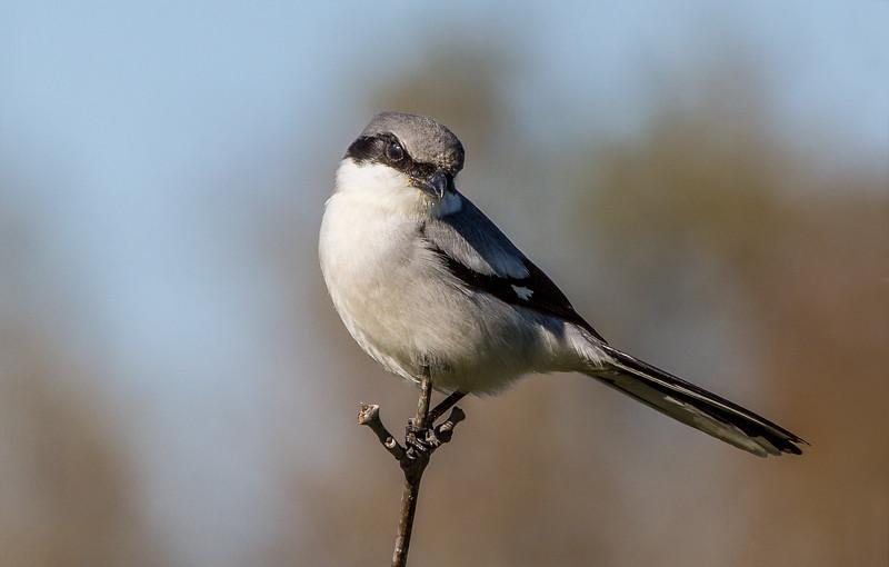 Logger-head Shrike