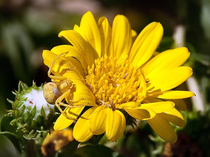 Crab Spider on Gum Plant Flower
