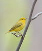 yellow warbler female, spring, Forest Park, NY