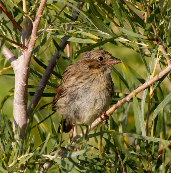 Song Sparrow Decahmbeau Ponds 2015 08 24-1.CR2
