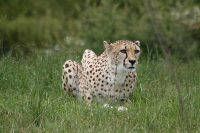 Serval, Cheetah & Sumatran Tiger