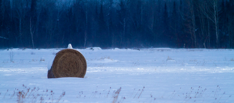 Snowy Owl mature male on haybale CR229-29 Dart Road Sax-Zim Bog MN  IMG_0053.jpg