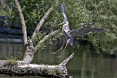 2011-06-03-A + Arboretum Creek + Herons