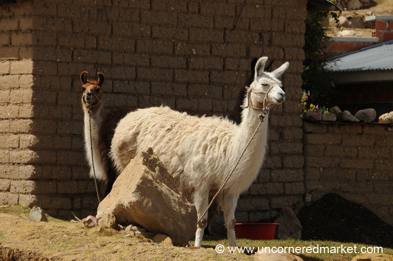 Curved Ears, Llama Friends - Yampupata, Lake Titicaca, Bolivia