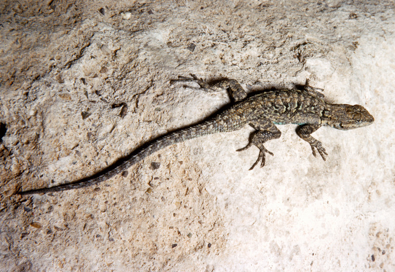 Ornate Tree Lizard (Urosaurus ornatus) Big Bend National Park, TX, 1958