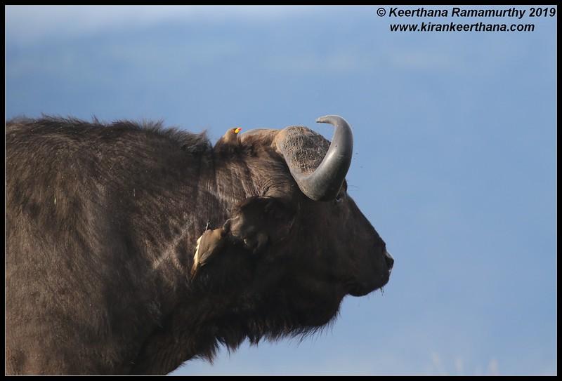 Red-billed Oxpecker, African Cape Buffalo, Ngorongoro Crater, Ngorongoro Conservation Area, Tanzania, November 2019