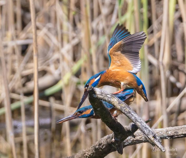 2018-05-08 BirdLife La Sauge Eisvogel 0U5A0022.jpg