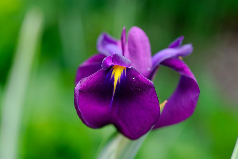 Iris - The North Carolina Arboretum