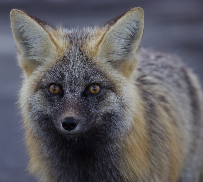 Cascade Fox:  this one is a perfect cross between the Red and the Black color phases.