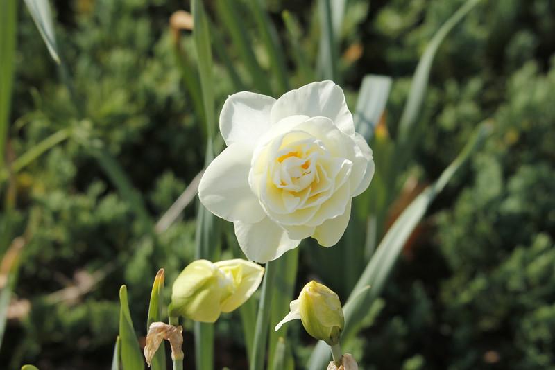 Gay Kybo daffodil