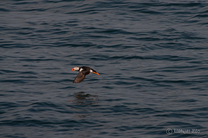 Flying Puffin in Iceland