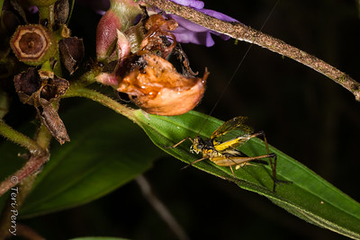 INSECT - cricket-2640