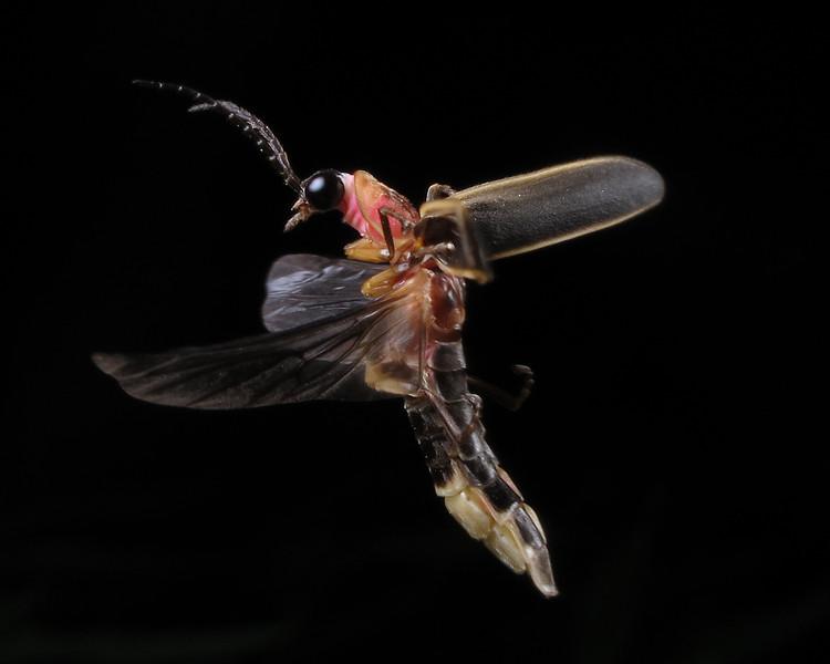 Firefly_2012_06_09_2690