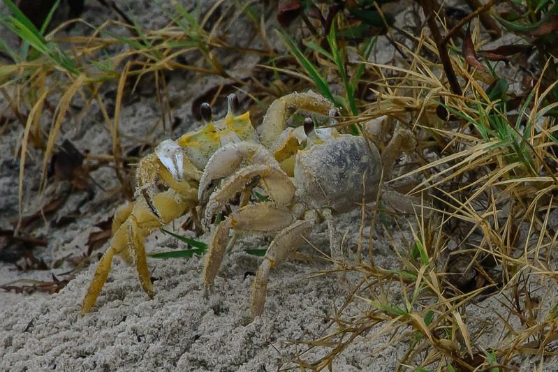 Dueling Crabs