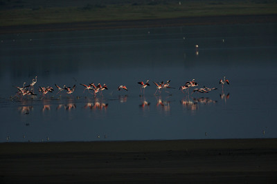Ibises Spoonbills & Flamingoes