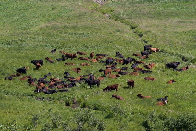 High angle view of cattle in pasture, Alberta Highway 22, Alberta, Canada