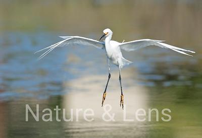 Egrets, Snowy Egrets