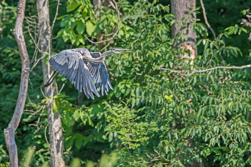 Great Blue Herron in Flight