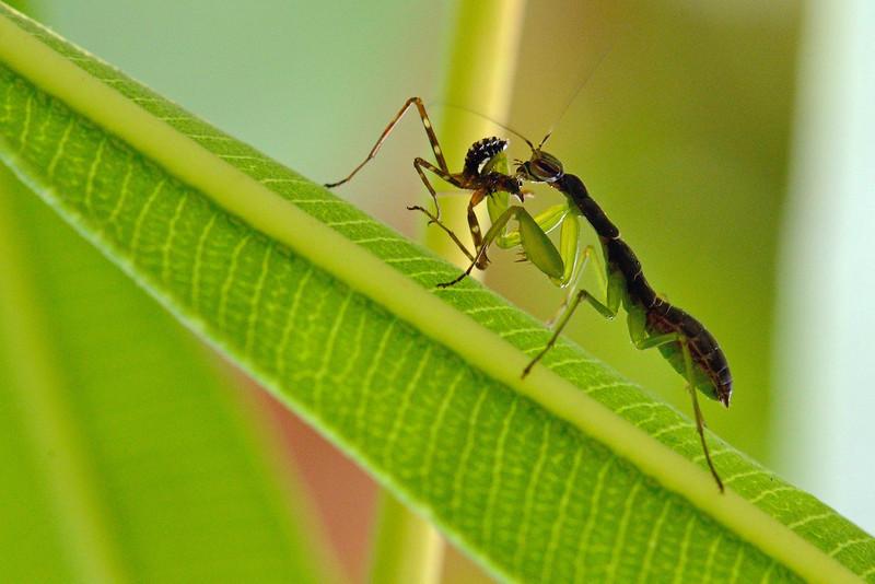 Mantis-kill-another-Mantis-01.jpg