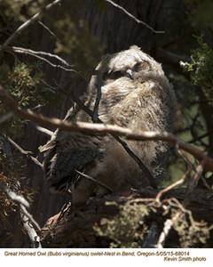 Great Horned Owl N68014 .jpg