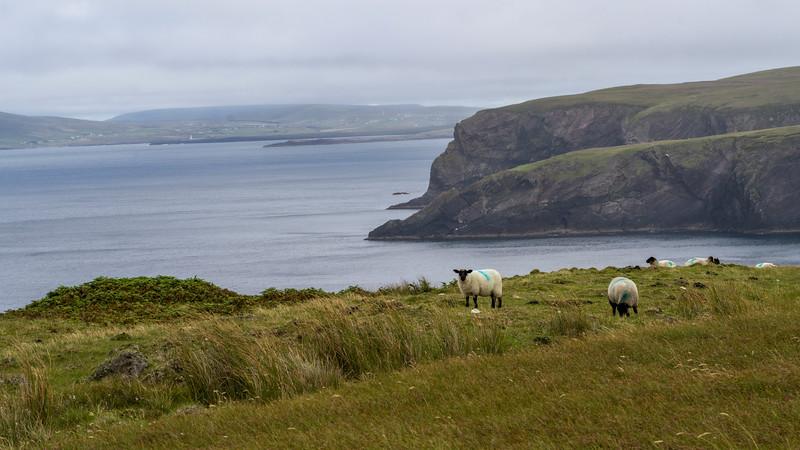 Sheep grazing in a field, Erris Peninsula, Erris Head Loop Walk, Glenamoy, Belmullet, County Mayo, Ireland